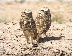 Burrowing owls and other wildlife may be at risk if energy farms are developed in the Mojave Desert, environmentalists warn.